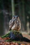 Eurasian Eagle Owl Bubo Bubo che si siede sul ceppo, primo piano, w immagini stock libere da diritti