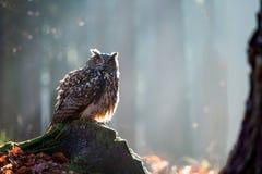 Eurasian Eagle Owl Bubo Bubo che si siede sul ceppo, primo piano, w immagine stock