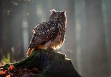 Eurasian Eagle Owl Bubo Bubo che si siede sul ceppo, primo piano, w fotografia stock libera da diritti