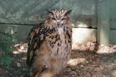 Eurasian Eagle-Owl (Bubo bubo) Royalty Free Stock Photo