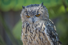 Eurasian eagle owl, bubo bubo, close-up. The picture is shot in Zoo Lagos, Portugal royalty free stock photos