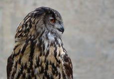Eurasian Eagle Owl (Bubo bubo) Royalty Free Stock Images