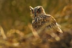 Eurasian Eagle-Owl - Bubo bubo. On the bush royalty free stock photo