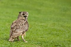 Eurasian Eagle Owl Bubo bubo. Falconry bird trained for hunting Royalty Free Stock Images
