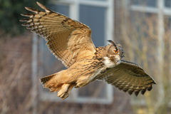 The Eurasian eagle-owl (Bubo bubo) Stock Image