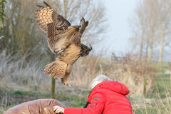 The Eurasian eagle-owl (Bubo bubo) Royalty Free Stock Photo
