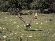 Eurasian eagle owl Bubo bubo flying in a falconry exhibition Stock Photo