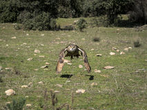 Eurasian eagle owl Bubo bubo flying in a falconry exhibition Royalty Free Stock Photo