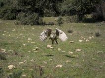 Eurasian eagle owl Bubo bubo flying in a falconry exhibition Royalty Free Stock Photos