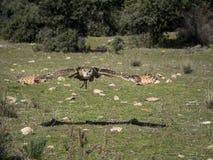 Eurasian eagle owl Bubo bubo flying in a falconry exhibition Stock Photos