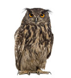 Eurasian eagle-owl (Bubo bubo). In front of a white background stock photography