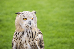 Eurasian eagle owl bubo bubo on green blurred background Royalty Free Stock Image
