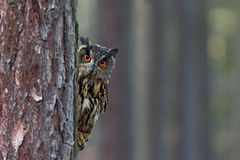 Eurasian Eagle Owl, Bubo bubo, hidden of tree trunk in the winter forest, portrait with big orange eyes, bird in the nature habita Stock Image