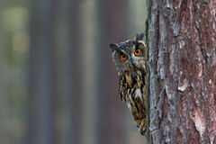 Eurasian Eagle Owl, Bubo bubo, hidden of tree trunk in the winter forest, portrait with big orange eyes, bird in the nature habita Stock Photography