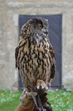 Eurasian Eagle Owl (Bubo bubo) Royalty Free Stock Photo