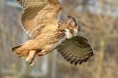 The Eurasian eagle-owl (Bubo bubo). The Eurasian eagle-ow in flight stock photo