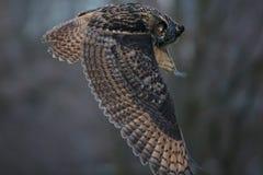 The Eurasian eagle-owl (Bubo bubo). The Eurasian eagle-ow in flight at the last light stock image