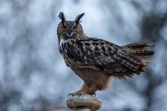The Eurasian eagle-owl (Bubo bubo). The Eurasian eagle-ow in last light stock image