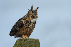 The Eurasian eagle-owl (Bubo bubo) Stock Photography