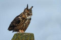 The Eurasian eagle-owl (Bubo bubo). The Eurasian eagle-ow in a nice setting stock photography