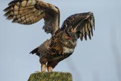 The Eurasian eagle-owl (Bubo bubo). The Eurasian eagle-ow takes off stock image