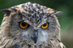 Eurasian Eagle-Owl (Bubo bubo) Stock Images