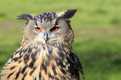 Eurasian Eagle-Owl / Bubo bubo Royalty Free Stock Photos