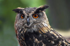 Eurasian eagle owl bubo bubo portrait, owls are often used as. A symbol of wisdom, selective focus on the orange eyes, narrow depth of field Stock Photos