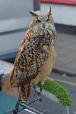 Eurasian Eagle Owl Bubo Bubo Royalty Free Stock Photos