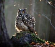 Eurasian Eagle Owl Bubo Bubo que senta-se no coto fotografia de stock royalty free