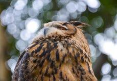 The Eurasian eagle-owl (Bubo bubo) Royalty Free Stock Photos