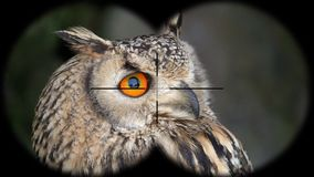 Eurasian eagle-owl bubo bubo seen through binoculars. Seen through binoculars. Bird watching at wildlife safari. Shot with a Sony RX10 IV fps 59,94 FHD stock video
