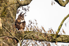 The Eurasian eagle-owl (Bubo bubo) Royalty Free Stock Images