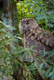 Eurasian eagle owl Bubo bubo Royalty Free Stock Photography