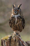 The Eurasian eagle-owl (Bubo bubo) Royalty Free Stock Image