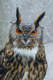 The Eurasian eagle-owl (Bubo bubo) on a stump Royalty Free Stock Image