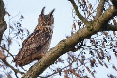 The Eurasian eagle-owl (Bubo bubo) Royalty Free Stock Photos