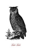 The Eurasian eagle-owl Bubo bubo,vintage engraving. The Eurasian eagle-owl Bubo bubo is  one of the largest species of owl. For millennia it has been regarded as Stock Photos