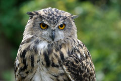 Eurasian Eagle-Owl (Bubo bubo) Royalty Free Stock Images
