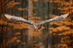 Eurasian Eagle Owl, Bubo bubo, with open wings in flight, forest habitat in background, orange autumn trees. Wildlife scene from royalty free stock photo
