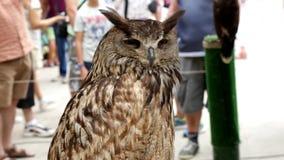 Eurasian eagle-owl Bubo bubo stock video