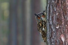 Eurasian Eagle Owl, Bubobubo som döljas av trädstammen i vinterskogen, stående med stora orange ögon, fågel i naturhabitaen arkivbild