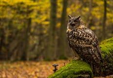 An eurasian eagle owl Stock Photos