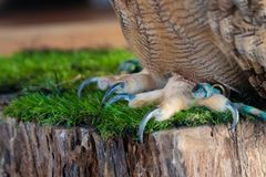 The Eurasian eagle-owl claws. The Eurasian eagle-owl claws, species of eagle-owl resident in much of Eurasia. Place for royalty free stock images