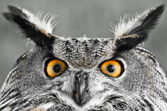 Eurasian Eagle-owl Royalty Free Stock Photo