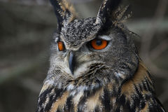 Eurasian Eagle Owl Close-Up Stock Image
