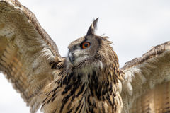 Eurasian eagle-owl. Close-up shot from below. Eurasian eagle-owl. Close-up shot from below with wings spread Royalty Free Stock Photography