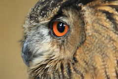 Eurasian eagle owl Royalty Free Stock Photos