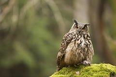 Eurasian Eagle Owl con la preda fotografia stock libera da diritti