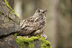 Eurasian Eagle Owl con la preda Fotografie Stock